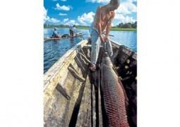 Producción de peces nativos se expande en la Amazonía